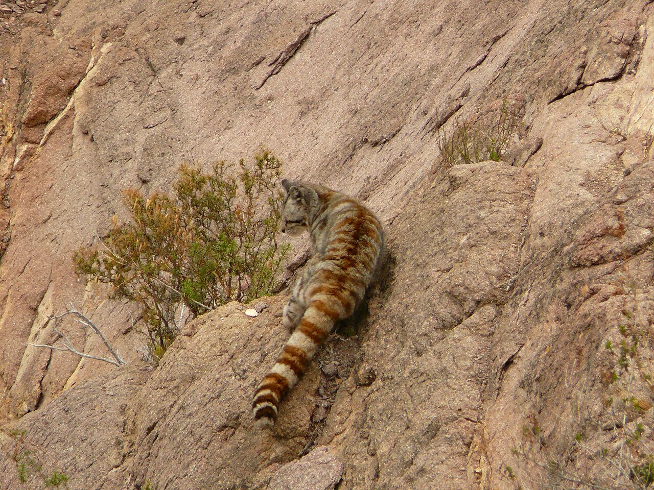 Avistaron y fotografiaron un gato andino en Los Reyunos