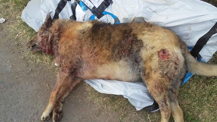 ¡Alerta!: Dos pitbull están sueltos en la Ciudad, ya mataron una perra, atacaron un labrador y podrían hasta matar un niño