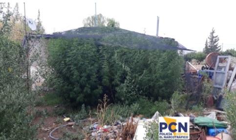 Allanaron un plantación de marihuana: 85 plantas de cuatro metros de altura secuestradas